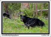 Bear_In_Greens