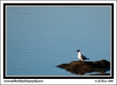 Black-Headed_Gull