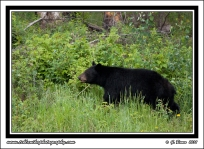 Black_Bear_In_Green_Grass
