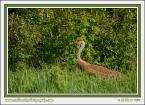 Crane_In_Grass