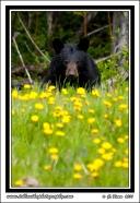Dandelion_Bear