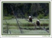 Eagles_Perched