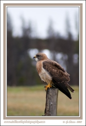 Fencepost_Hawk