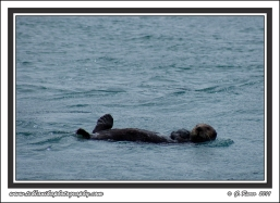 Floating_Otter