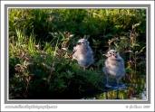 Gull_Chicks