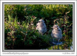 Gull_Chicks