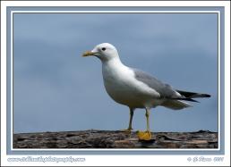 Gull_On_Log