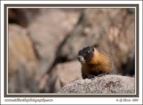 Marmot_On_Rock