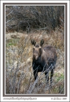 Moose_In_Brush
