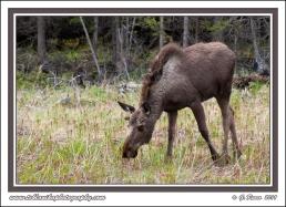 Moose_Munchies