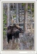 Moose_Nubs