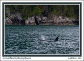 Orca_Near_Fjord
