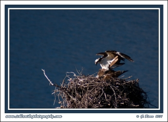 Osprey_Mating