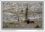 Rock_Moose