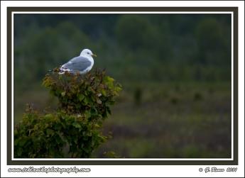 Roosting_Gull