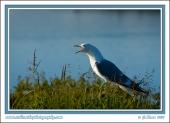 Singing_Gull