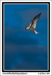 Tern_Blue