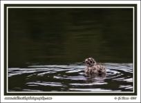 Tiny_Gull