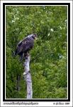 Wet_Eagle