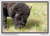 Wood_Buffalo