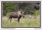 Young_Bull_Moose_In_Grass