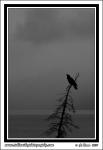 Alaska_Raven