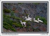 Alert_Sheep