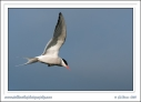 Arctic_Tern_In_Flight