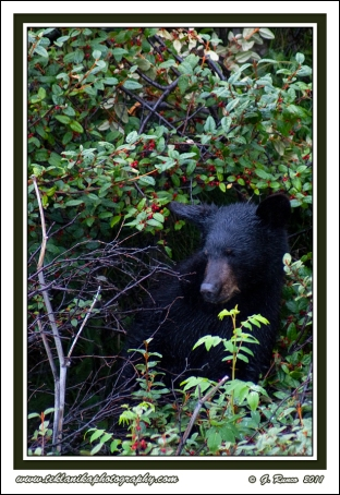 Bear_In_Berries