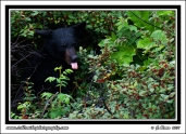 Bear_Tongue