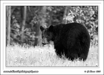 B&W_Bear