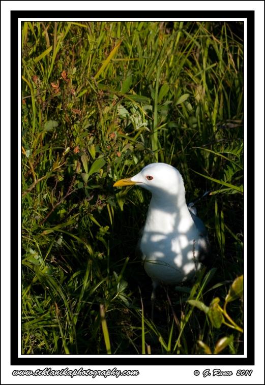 Gull_In_Grass