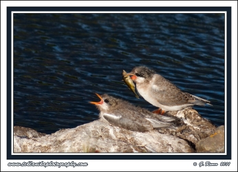 Hungry_Terns