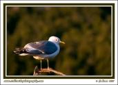 Mew_Gull