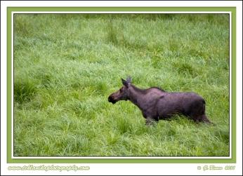Moose_Grass
