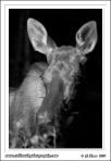 Moose_Portrait_B&W