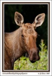 Mother_Moose_Portrait