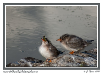 Young_Terns
