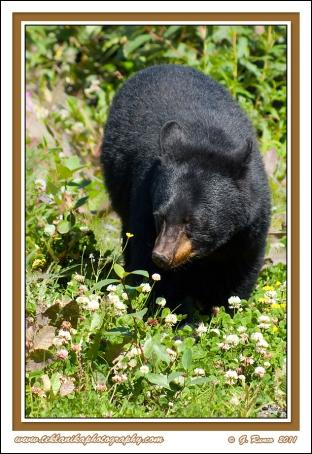 Alaska_Black_Bear