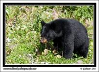 Bear_Salad