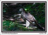 Trail_Hawk