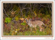 Alaska_Coyote