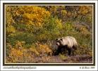 Alaska_Interior_Grizzly