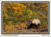 Alaska_Interior_Grizzly
