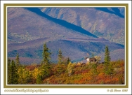 Caribou_In_Fall