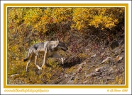 Denali_Wolf