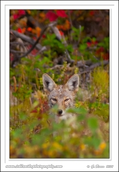 Hidden_Coyote