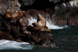 Stellers_Sea_Lions