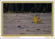 Wolf_And_Caribou_At_Teklanika_River