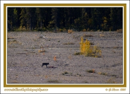 Wolf_And_Caribou_At_Teklanika_River